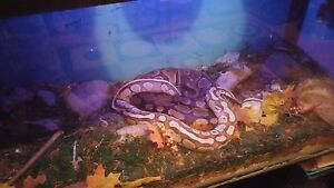 Awesome snakes and tank for sale.
