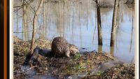 Beaver Trapping And Nuisance Control