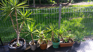 Agaves And yuccas Charlestown Lake Macquarie Area Preview