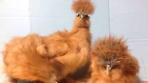Lionhead rabbits and silkie chickens