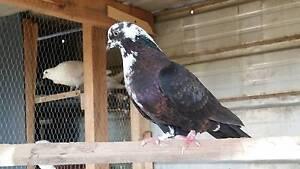 Pigeon ................ Lidcombe Auburn Area Preview