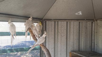 Cockatiels avairy birds