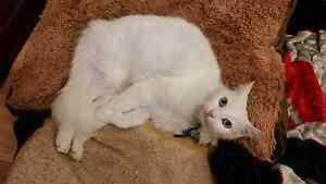 Lost White Cat Craigieburn Hume Area Preview