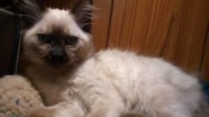 Gorgeous Ragdoll x Apple face Siamese Kittens