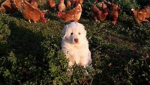 Maremma Pups Livestock Guardian Monteagle Young Area Preview