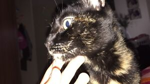 Beautiful Siamese tabby mix up for adoption to a loving home