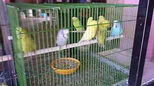 9 female english budgies for sale Ipswich Ipswich City Preview