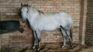 CYPRUS - 13.2H GREY HUNTER TYPE PONY Badgerys Creek Liverpool Area Preview