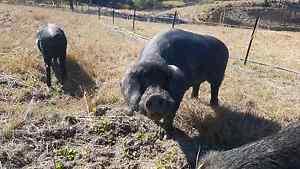 Large black pigs Byabarra Port Macquarie City Preview