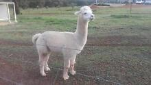 WHITE MALE ALPACA FOR SALE - CERTIFIED ENTIRE Lower Chittering Chittering Area Preview