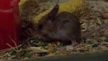 Spinifex Hopping Mice Ermington Parramatta Area Preview