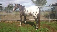 APPY GELDING 6YR OLD AAA GC62046 Rosevale Ipswich South Preview
