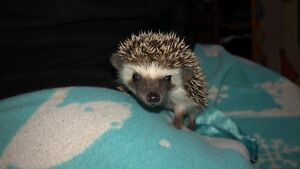 Baby hedgehogs (SOLD PPU)