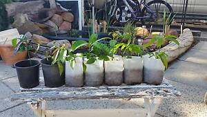 Fruit tree from seeds Dianella Stirling Area Preview
