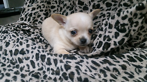 Smooth coat cream purebred chihuahua with pedigree papers Bathurst Bathurst City Preview