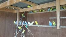 Budgies at The Crofters Croft. Moolap Geelong City Preview