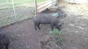 Pigs for Christmas Hamel Waroona Area Preview