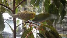ENGLISH BUDGIES FOR SALE! Cashmere Pine Rivers Area Preview