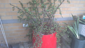 Large Red Pot with established Jade plant Raymond Terrace Port Stephens Area Preview