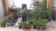 Assorted plants from $1.50 to $7.50 inc succulents, agapanthus Leda Kwinana Area Preview