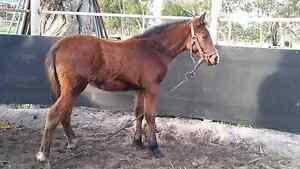 stockhorse Waroona Waroona Area Preview