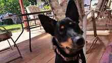 Kelpie male wanted to put over female. Wanneroo Wanneroo Area Preview