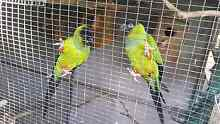 BIRDS FOR SALE! Ipswich Ipswich City Preview