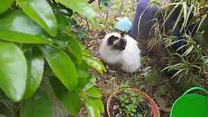 Female birman 4yr old Niagara Park Gosford Area Preview