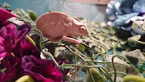 Baby panther chameleon an set up