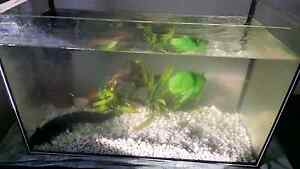 2x large Axolotls, tank and accessories Seaford Morphett Vale Area Preview