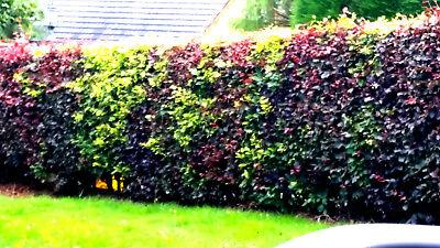 30 Mixed Green & Purple Beech Hedging Plants 2-3ft Fagus Sylvatica Trees