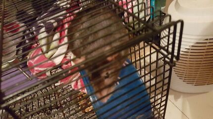 Do you own a male rat? Mowbray Launceston Area Preview