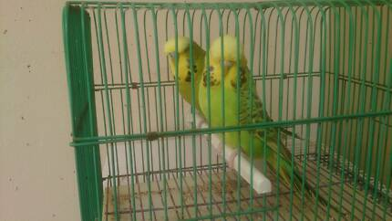 Bonded Pair Of English Budgies for sale
