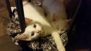 2 white kittens both female bob tails URGENT NEED THEM GONE