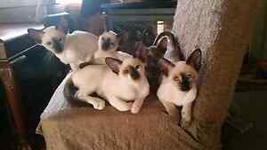 siamese kittens Maitland Maitland Area Preview