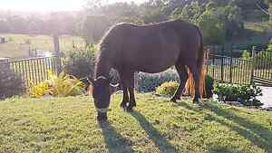 Miniature mare Canina Gympie Area Preview