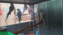 2 Year rising Indian Ringneck Parrots Rowville Knox Area Preview