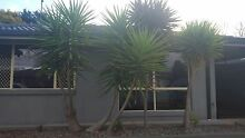 Yuccas free to good home Emu Heights Penrith Area Preview