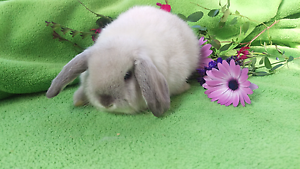 ❤PUREBRED BABY MINI LOPS LITTER OF SEAL POINT Londonderry Penrith Area Preview