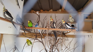 Birds  for sale Holroyd Parramatta Area Preview