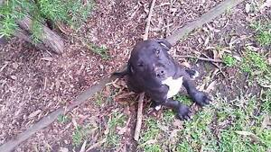 10 week old male pup Erowal Bay Shoalhaven Area Preview