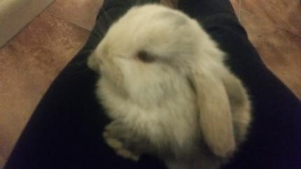 $90 Dwarf bunny