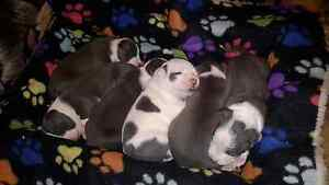 Blue Amstaff pups Ellalong Cessnock Area Preview