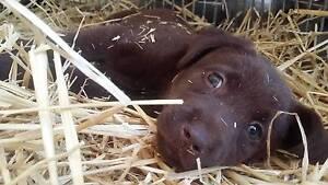 chocolate lab puppies. Bundamba Ipswich City Preview