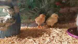 DAY OLD CHICKS N DUCLKINGS Lawnton Pine Rivers Area Preview