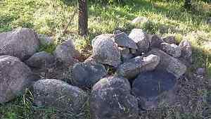 Rocks for free Daruka Tamworth City Preview