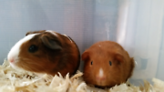 Baby boy guinea pigs Koondoola Wanneroo Area Preview