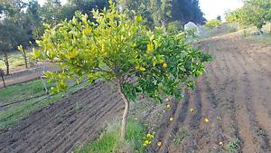 Dwarf lemon trees Gidgegannup Swan Area Preview