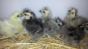 Silkie Chicks  Pure Bred  READY NOW for new homes Kyneton Macedon Ranges Preview
