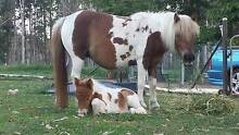 Miniature Mare and Foal Mount Hallen Somerset Area Preview